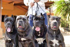 Cane Corso Puppies in California