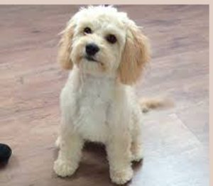 Cavapoo Puppy Cut