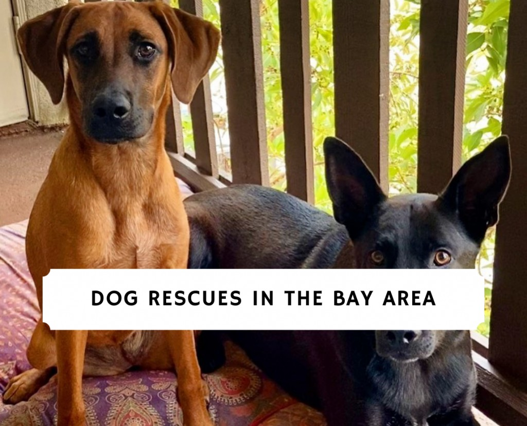 Dog Rescues in the Bay Area