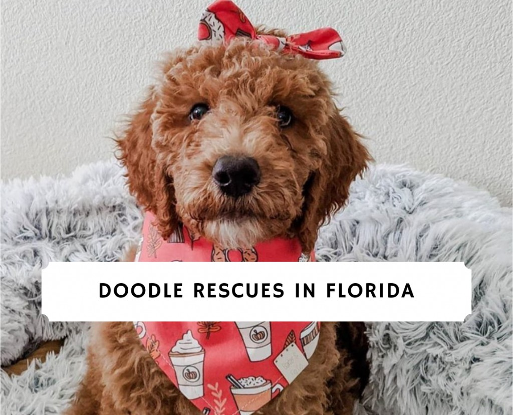 Doodle Rescues in Florida
