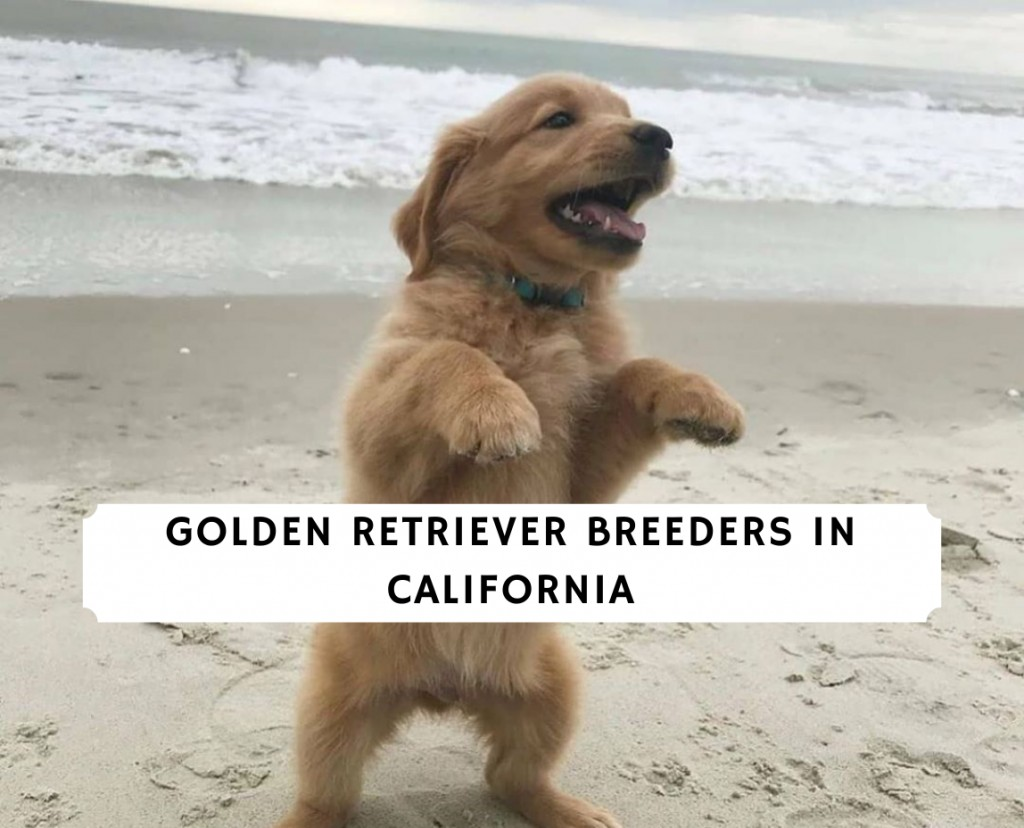 Golden Retriever Breeders in California