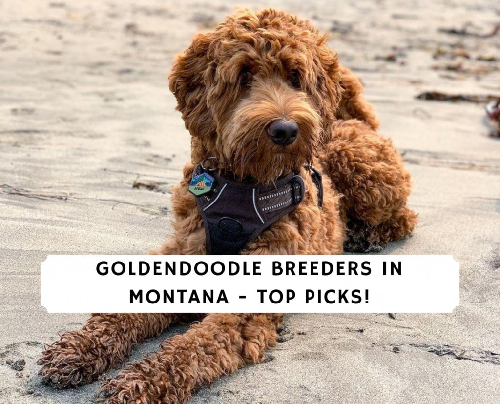 Goldendoodle Breeders in Montana