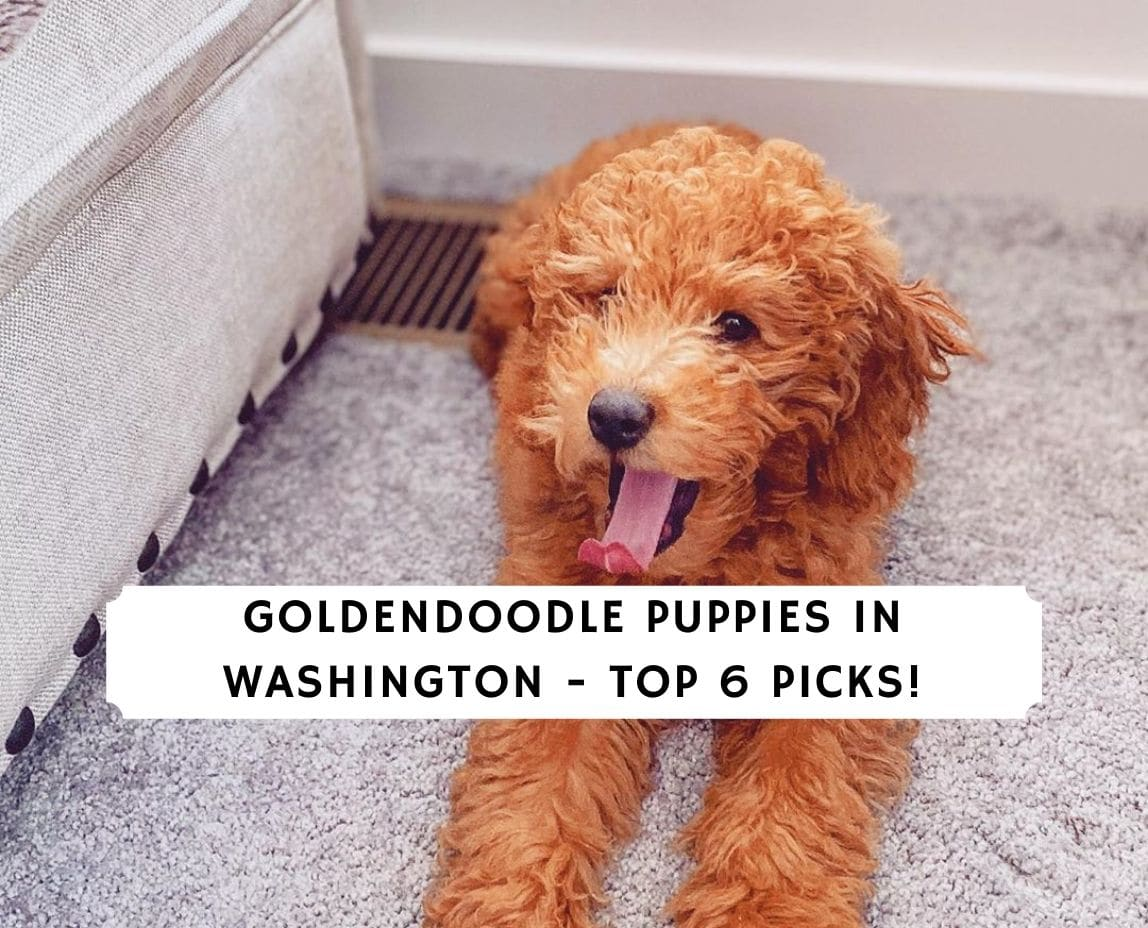 Goldendoodle Puppies in Washington_final