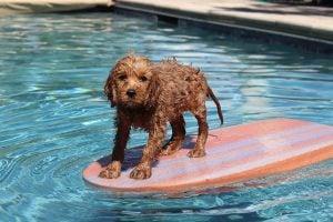 Do goldendoodles like to swim