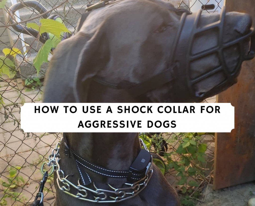 How to Use a Shock Collar for Aggressive Dogs