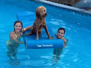 Goldendoodle swimming in a pool