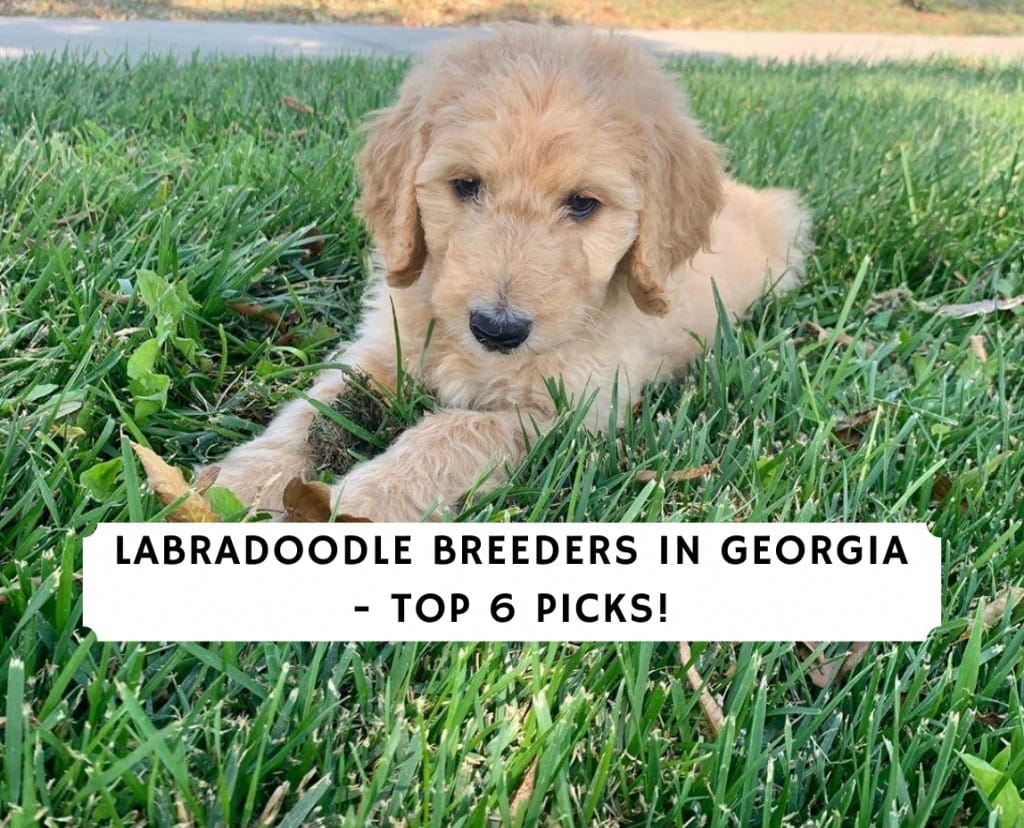Labradoodle Breeders in Georgia