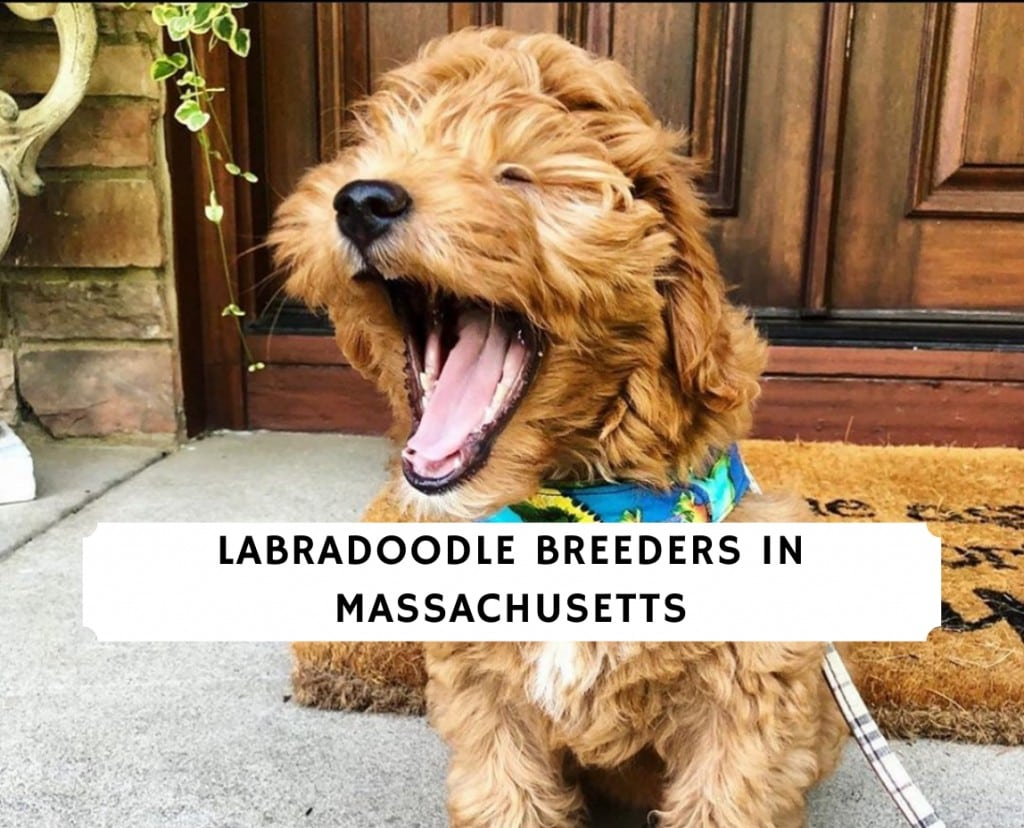 Labradoodle Breeders in Massachusetts