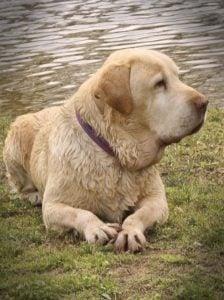 Labrador Retriever Rescue Inc