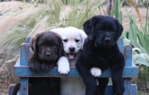 Labrador puppies in California