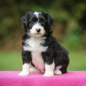 Lakeside Farm Aussiedoodle Puppies
