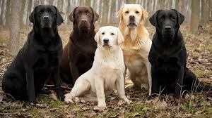 Love of Labs Indiana (LOLIN)