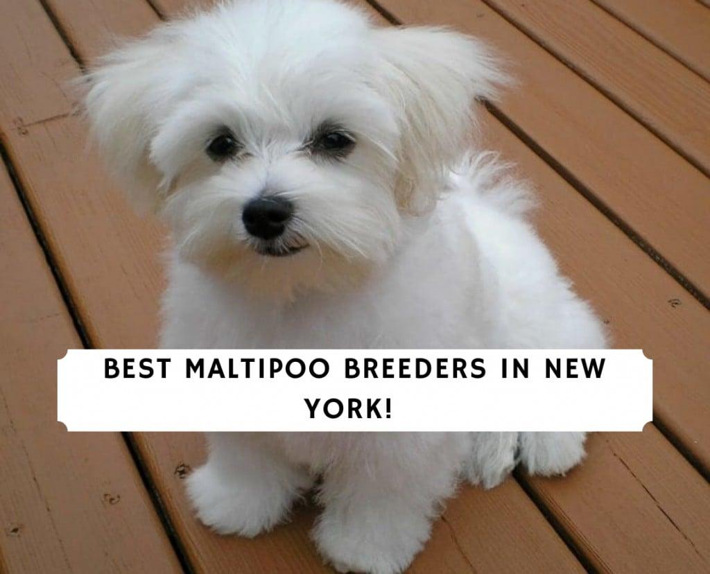 MALTIPOO BREEDERS IN NEW YORK