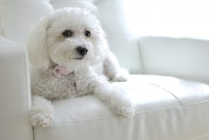 Maltipoo Town and Country