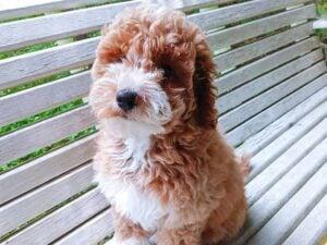 PuppySpot Goldendoodles Washington