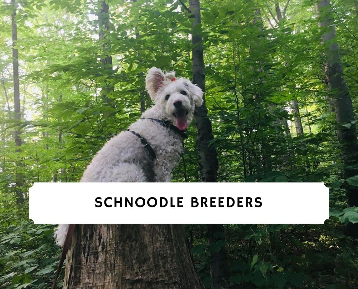 Schnoodle Breeders