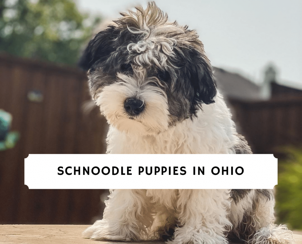 Schnoodle Puppies In Ohio