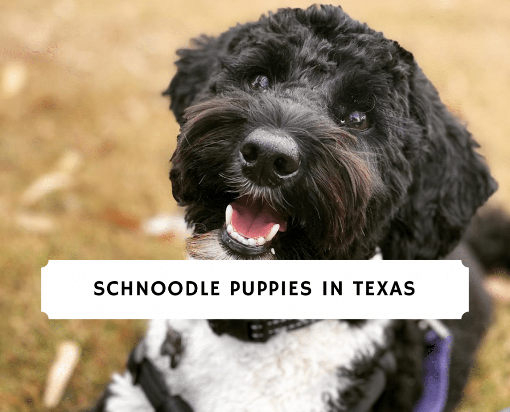 Schnoodle Puppies In Texas