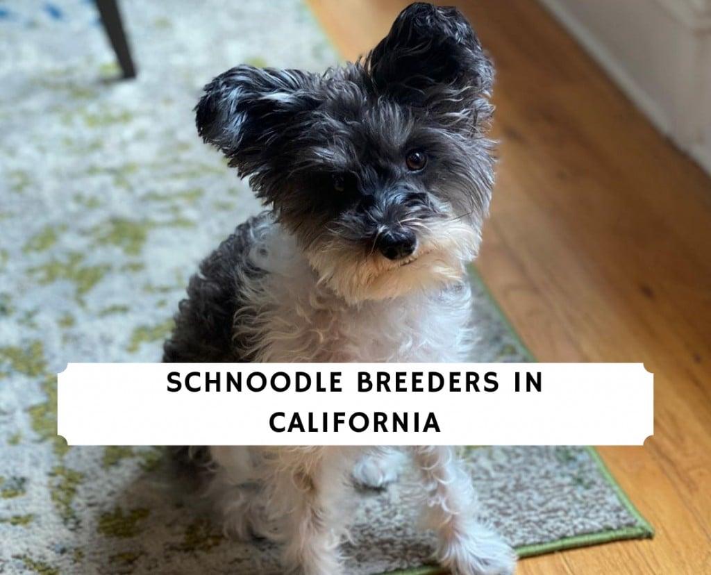 Schnoodle breeders in California