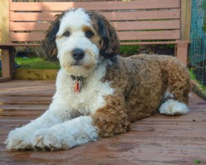 Types of Bernedoodle Haircuts