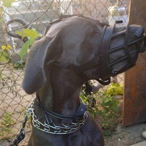 aggressive dog in a shock collar
