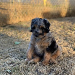 aussiedoodle puppy breeders