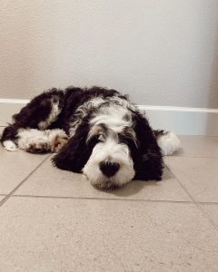 bernedoodle with allergies to dog food