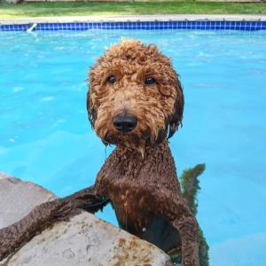 can mini goldendoodles swim