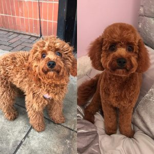 cavapoo teddybear haircut