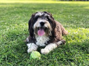dog food for Bernedoodle with sensitive stomach