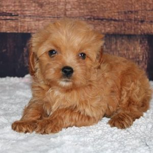 dog food for maltipoo puppy