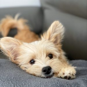 dry dog food for a yorkie poo