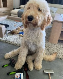 goldendoodle standing near brushes