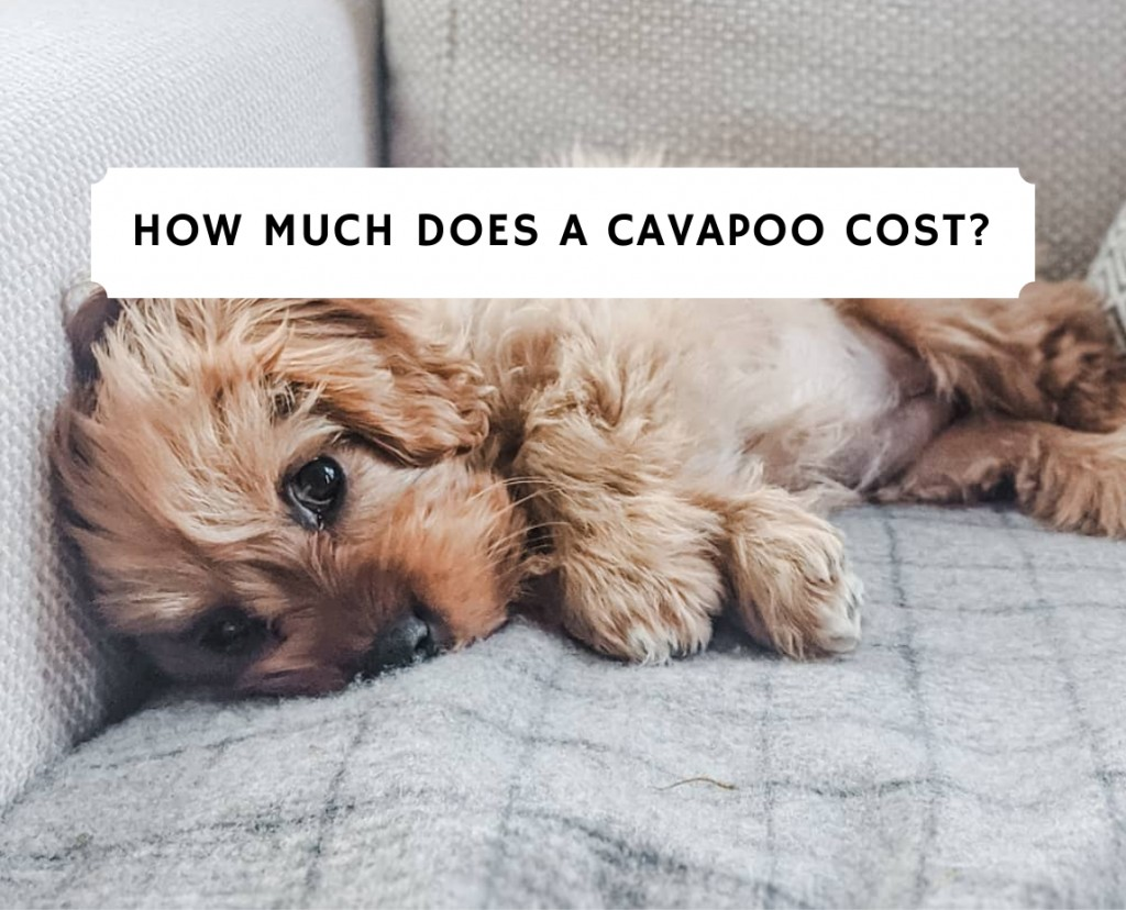 how much does a Cavapoo cost_
