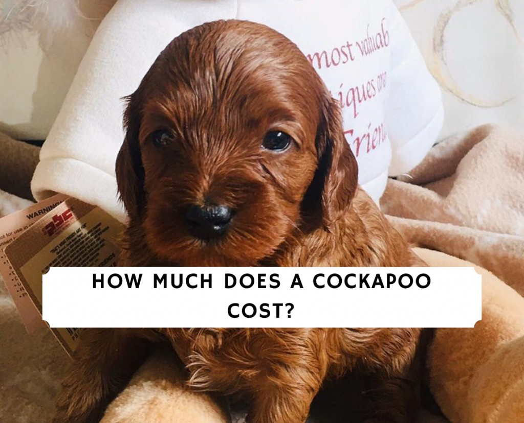 how much does a Cockapoo cost_