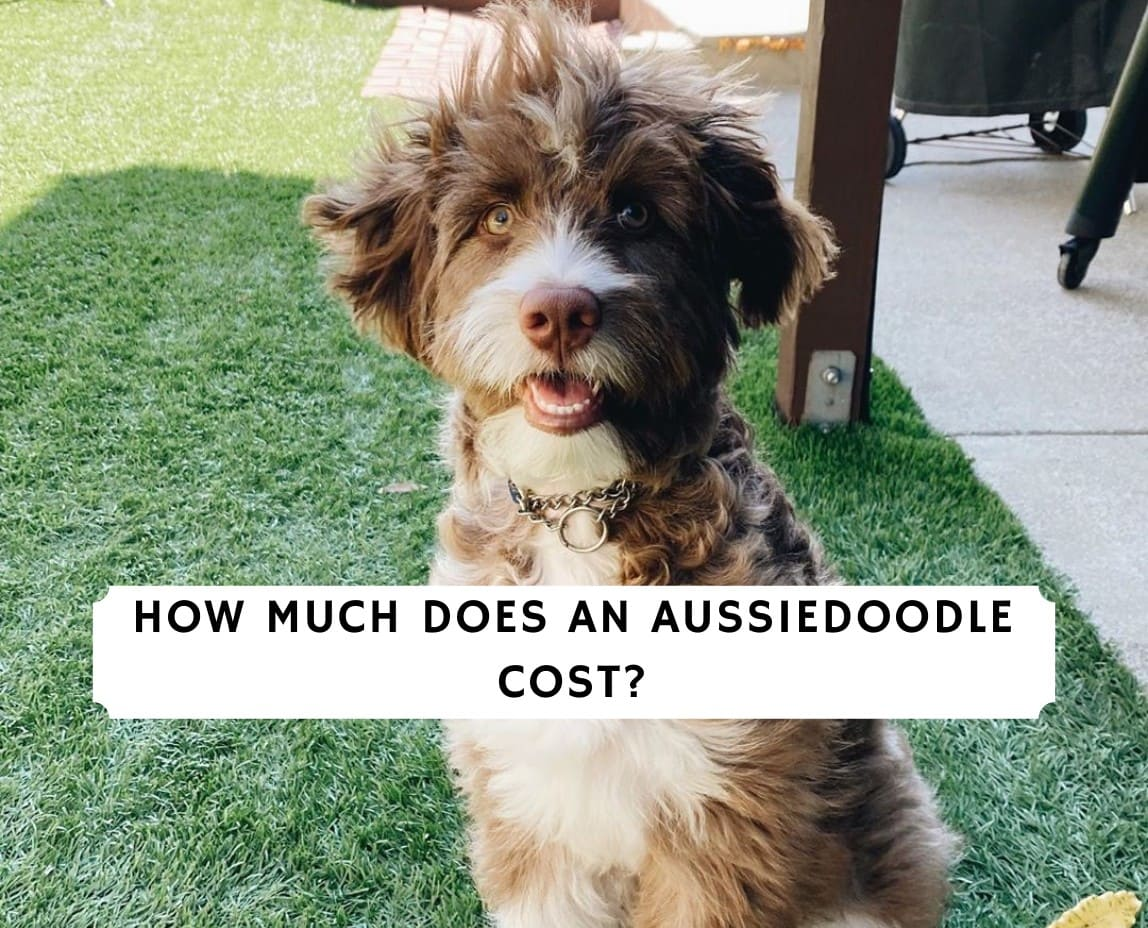 how much does an aussiedoodle cost_oes an aussiedoodle cost