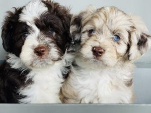 AUSSIEDOODLE PUPPIES Texas