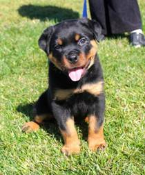 Marlo's Rottweilers Northern California