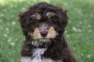 How much does a mini Aussiedoodle cost