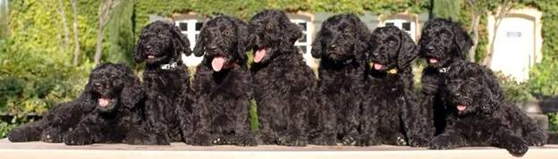 CONCLUSION FOR SCHNOODLE BREEDERS IN CALIFORNIA