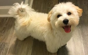 5 TIPS ON BUYING A MALTIPOO