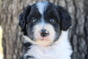 COMMON QUESTIONS ABOUT BUYING AN AUSSIEDOODLE