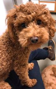 5 THINGS YOU SHOULD KNOW ABOUT YOUR FUTURE CAVAPOO