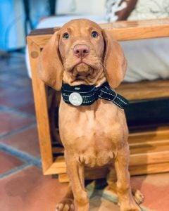 radius shock collar on a dog