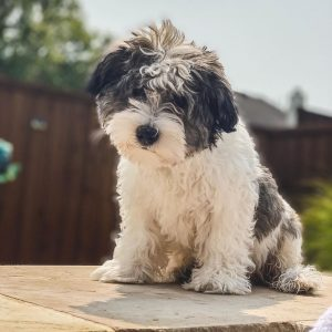 schnoodle puppies for sale ohio