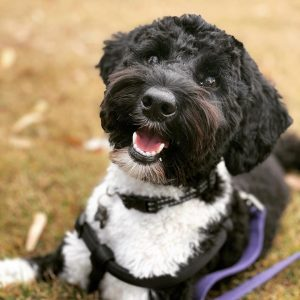schnoodle puppies for sale texas