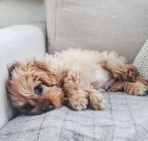 what is the price of a cavapoo
