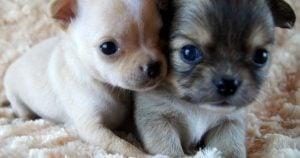 Chihuahuas-Wee-Love Texas