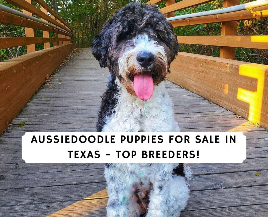 Aussiedoodle Puppies for Sale in Texas