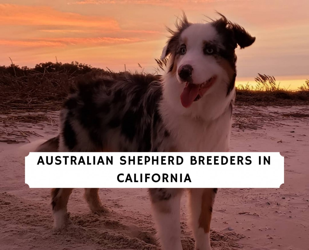 Australian Shepherd Breeders in California